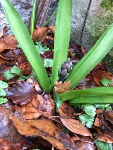 Hyacint på vej