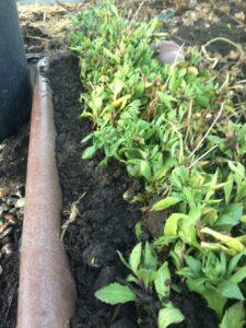 Nyplantede stiklinger af spansk marguerit