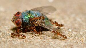 Myrer er rovdyr