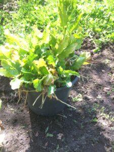 Lille Torøje overvintring i potte i drivhus