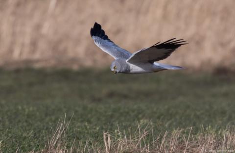 Nye fugle til observationslisten